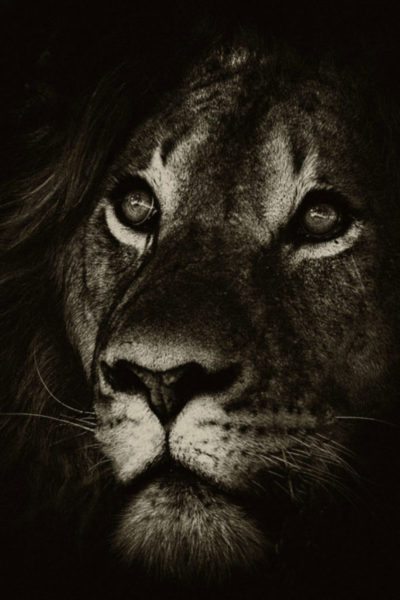 Lion Head Black and White 1